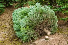 christmas trees are rare and expensive this year here u0027s the best