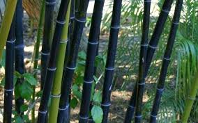 buy black bamboo phyllostachys nigra 2 gallon bamboo plants