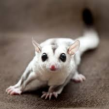 Gliders For Sale Socrates The Sugar Glider 4 Month Old White Face Blonde Light