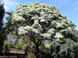 plants native to china teak tree beautiful scenery gardens flowers pinterest