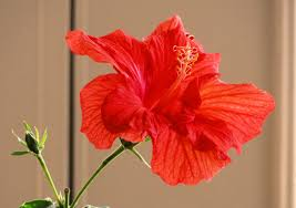 Which State Has A Hibiscus by Close At Hand Defeat Despair
