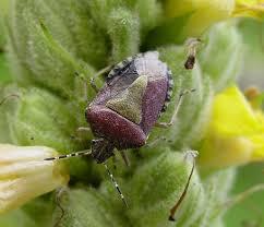 was ist das für ein insekt eine wanze oder was urlaub insekten stinkwanze wanze insekt kostenloses foto auf pixabay