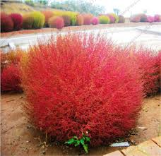 kochia scoparia seeds picture more detailed picture about kochia