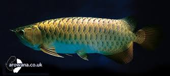types of asian arowana fish tropical ornamental fish
