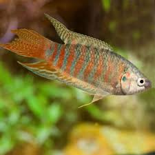 freshwater fish paradise fish macropodus opercularis for sale online petsolutions