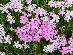 Phlox Flower Tips For Growing Phlox Hgtv