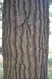 White Oak Tree Bark Amc Nh Quercus Alba Gallery U0026 Guide