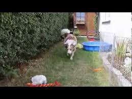 australian shepherd mit 6 monaten aussie pinu 8 wochen bis 7 monate youtube