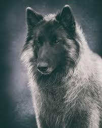 belgian sheepdog newsletter belgian tervuren portrait photograph by wolf shadow photography