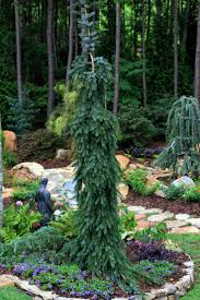 160 best conifers ornamentals groundcovers images on