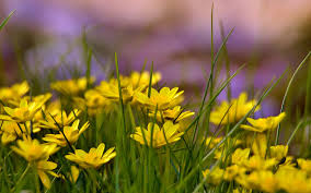 Flower Field Wallpaper - yellow flowers field 6955669