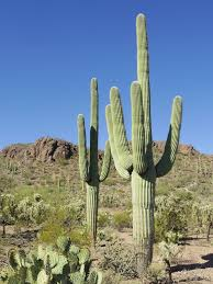 native sonoran desert plants saguaro wikipedia