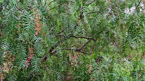 edible native plants australia melbourne fresh daily melbourne street trees 107 pepper tree