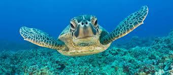 imagenes tortugas verdes tortuga verde