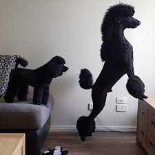 different styles of hair cuts for poodles 87 best poodle grooming hairstyles images on pinterest poodle