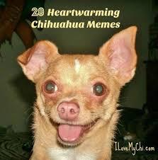 Chihuahua Meme - heartwarming chihuahua memes