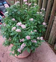 pentas flower pentas plant how to care for pentas flower