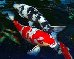 theft of japanese koi a mystery