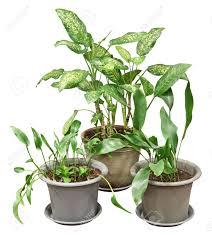 three flower pot with various indoor plants dieffenbachia
