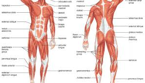 Picture Of Human Knee Muscles Movement Muscles And Joints A Little Bit About How You Can Move