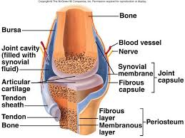 Tendon Synovial Sheath Best 25 Synovial Joint Ideas On Pinterest Human Joints