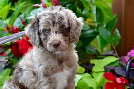 doodle for adoption indiana aussiedoodles and aussiepoo puppies for sale new litter coming soon