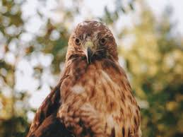 Meaning Of Comfortable by Red Tailed Hawk Symbolism Spirit Animals Wild Gratitude