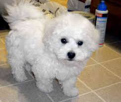 bichon frise in ohio bichon frise the best and cutest dogs in the world looks like my