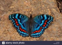 butterfly sitting on soily ground with open wings south africa
