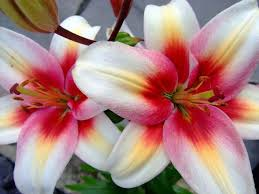 lilies flowers flowers flowers images