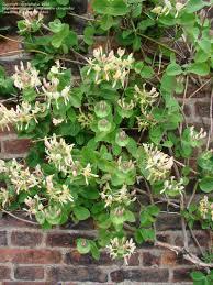 honeysuckle lonicera caprifolium garden dwellers pinterest