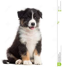 mini australian shepherd 8 weeks australian shepherd puppy 8 weeks old sitting royalty free stock