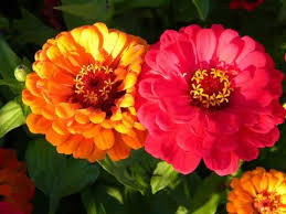 Zinnias Flowers Amazing And Most Beautiful Zinnia Flowers Pictures Youtube