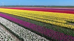 dji phantom 4 drone the tulip fields in holland youtube