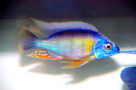 hellas ornamental fish