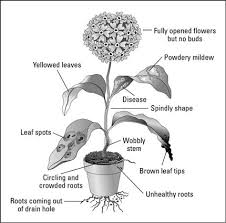 House Plants Diseases - checking for disease distress when buying houseplants dummies