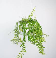 White Hanging Planter by Columnea Arguta In White Hanging Planter Plant And Pot Nz