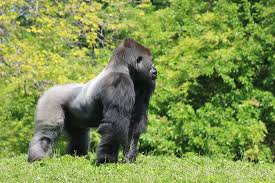 silver back gorilla facts dogs cats and wild animals blog