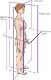 Human Anatomy Planes Of The Body Plane Definition Of Plane By Medical Dictionary