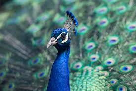 peacock blue eyes u2014 bossfight