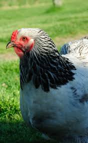 Keeping Free Range Chickens In Your Backyard Keep Your Chickens From Scattering The Mulch My Pet Chicken Blog