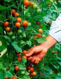 make your home vegetable garden complete with tomatoes