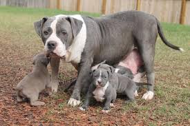 american pitbull terrier 5 months old blue pitbull puppies for sale from the best xxl blue pitbulls
