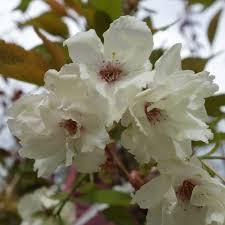 prunus ukon buy japanese cherry blossom japanese blossom tree