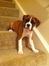 Go Down Stairs by Ozzie Learns To Go Down Stairs My Love Of Boxer Dogs Pinterest