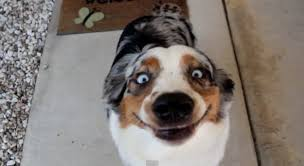 australian shepherd meme 33 dogs that cannot even handle it right now