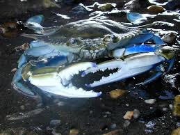 with too few males blue crab population may be put at risk