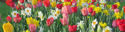 most popular fall planted bulbs most popular spring blooming