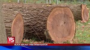 investigator beware of offers to haul away valuable black walnut