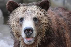 Bears Montana Hunting And Fishing - greater yellowstone grizzly bears to lose endangered species